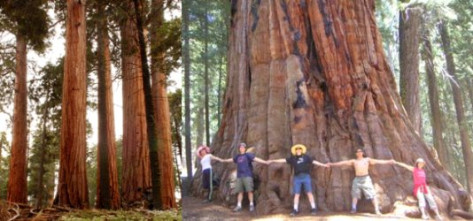 Creation: Sequoia Gigantea no more than 4,000 years old