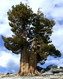 Creation: Methuselah-Bristlecone Pine oldest tree on earth