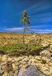 Creation: Spruce pine in Sweden, only 600 years old