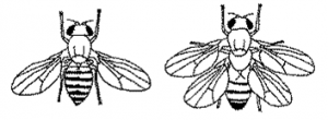Creation: Textbook Diagram of 4-Winged Fruitfly