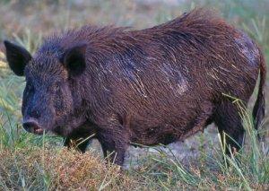 Wild Pig Wild Boar Hog