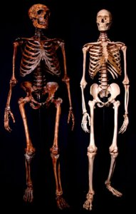 Creation: Human Neanderthal Skeletons