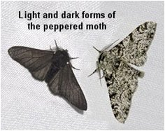 Creation: Modern Textbook British Peppered Moth 1