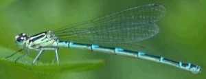 Creation: living modern damselfly