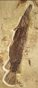 Creation: Gar fish fossil