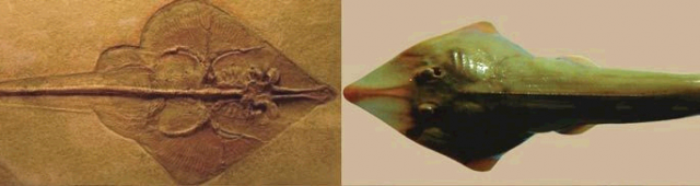 fossil & modern shovel ray