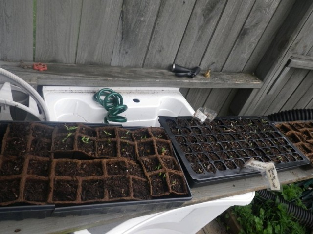 garden seeds growing